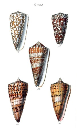 From The conchological illustrations, by George Brettingham Sowerby, London, 1832.