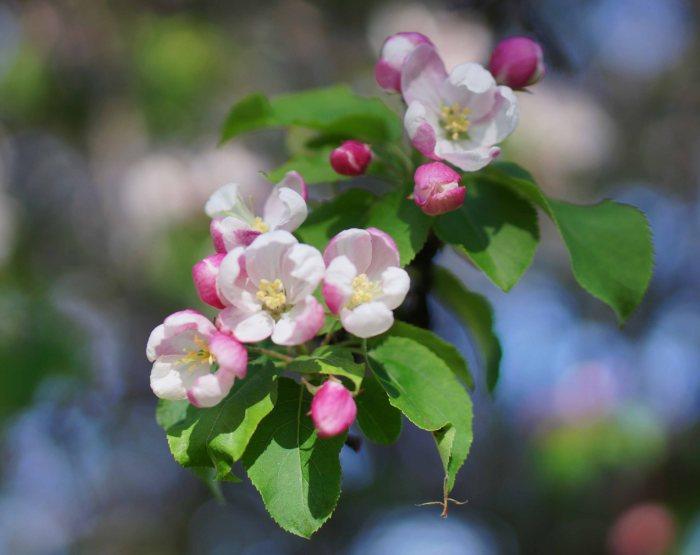 Blossom-4-05222014