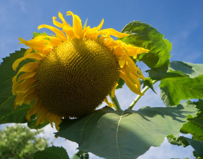 Sunflower-2-09052015